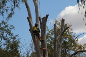 Gold Coast tree lopper
