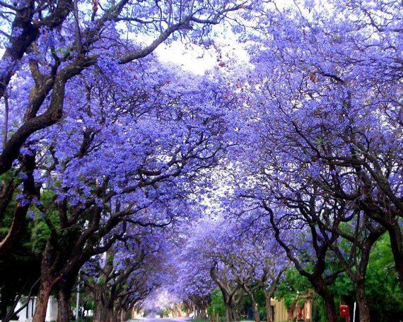 jacaranda-trees