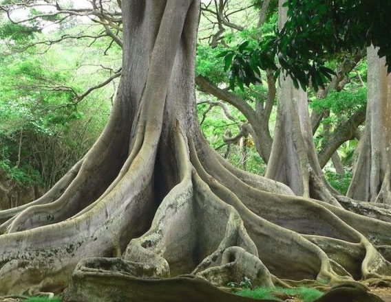 moreton-bay-fig