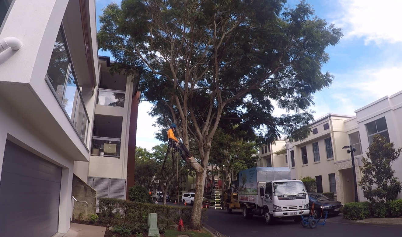 Before tree pruning Gold Coast