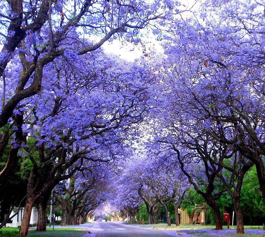 Tree Species Profile: Jacaranda | Aussie Tree Care ...