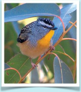 Bluebird- Aussie Tree Care