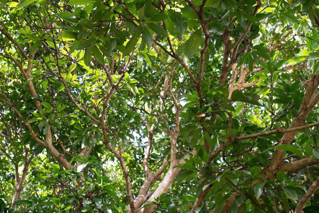 Aussie Tree Care, local tree cutting service, local tree removal companies, local tree experts, local tree loppers, local tree doctor, local tree pruners, local tree quotes, shrub removal, Gold Coast, Ormeau, Kingsholme, Willow Vale, Norwell, Jacobs Well, Coomera, Pimpama, Wongawallan, Tamborine Mountain, Helensvale, Pacific Pines, Nerang, Brisbane, Yatala, Stapylton, Carbrook, Shailer Park, Loganholme, Slacks Creek, Browns Plains, Chambers Flat, Redl Bay, Logan Village, YarraBilba, Cedar Creek, Beenleigh